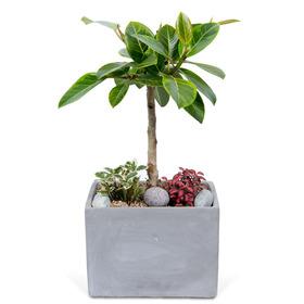 뱅갈고무나무 m3010